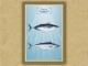 Οικογένεια Σκομβριδών (οι λακέρδες) - Καμβάς